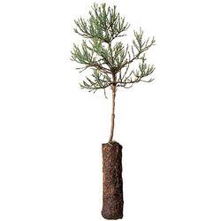 Baby Giant Sequoia