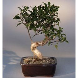 Taiwan Ficus with Curved Shaped Trunk