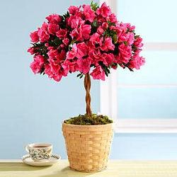 Potted Azalea Topiary