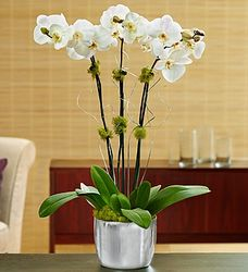 Silver Celebration Orchid Plant