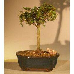6 Year Old Straight Trunk Chinese Elm Bonsai Tree