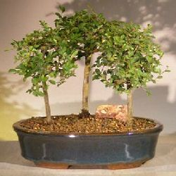 3 Tree Chinese Elm Bonsai Forest
