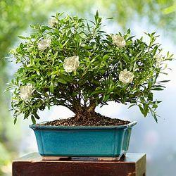 8-Year Old Gardenia Bonsai