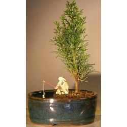 Italian Cypress Evergreen Bonsai Tree