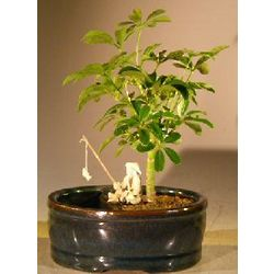 Hawaiian Umbrella Bonsai Tree with Water/Land Container