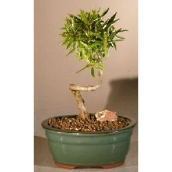 Small Willow Leaf Ficus Coiled Trunk Bonsai Tree