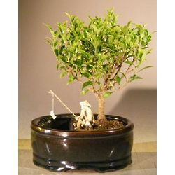 Ficus Retusa Bonsai Tree in Water/Land Container