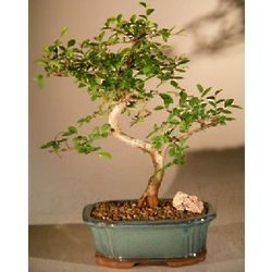 Small Chinese Elm Curved Trunk Bonsai Tree
