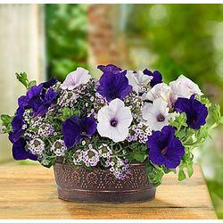 Proven Winners Velvet Skies Dish Garden