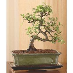 Chinese Elm Bonsai Tree Set