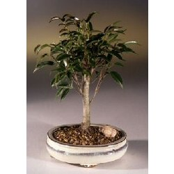 Medium Ficus Midnight Bonsai Tree