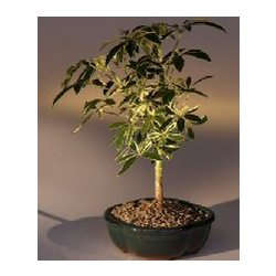 Small Golden Hawaiian Umbrella Bonsai Tree