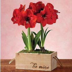 Valentine's Day Amaryllis Plant