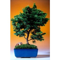 "13"" Hinoki Cypress Bonsai Tree"
