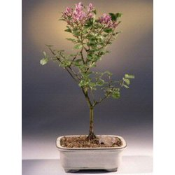 Korean Lilac Bonsai Tree