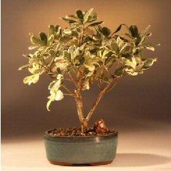Japanese Mock Orange Bonsai Tree