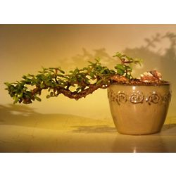 Cascade Style Large Baby Jade Bonsai Tree