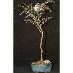Japanese Wisteria Bonsai Tree