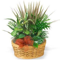 Medium Planter Basket of Green Plants