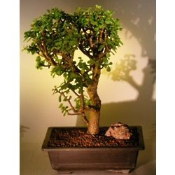 Upright Form Baby Jade Bonsai Tree