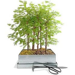Redwood Forest Bonsai Growing Kit