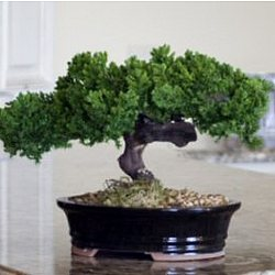Monterey Single Trunk Preserved Bonsai Tree