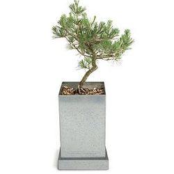 Japanese Black Pine Bonsai Growing Kit