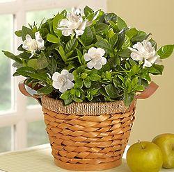 Medium Blooming Gardenia Plant in a Basket
