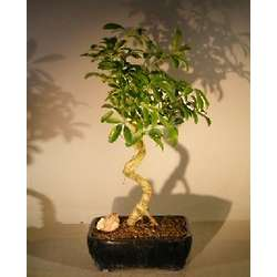 Large Hawaiian Umbrella Bonsai Tree with Coiled Trunk