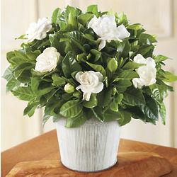 Gardenia Plant Country Tin