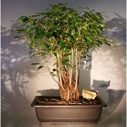 14 Year Old Ficus Bonsai Tree Forest