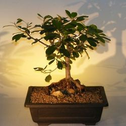 17 Year Old Root Over Rock Ficus Bonsai Tree