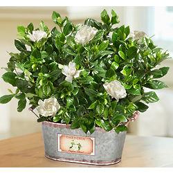 Vintage Blooming Gardenia