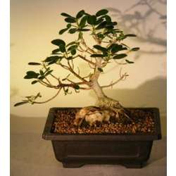 12 Inch Root Over Rock Ficus Bonsai Tree