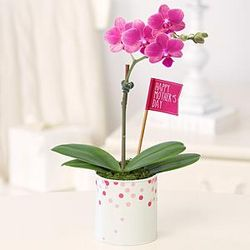 Happy Mother's Day Mini Orchid