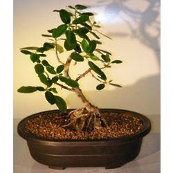 9 Inch Root Over Rock Ficus Bonsai Tree