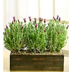 Lavender Plant Window Box Planter