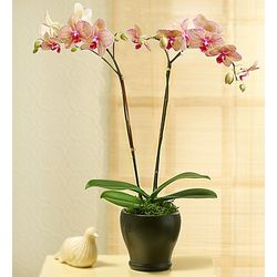 Kaleidoscope Phalaenopsis Orchid