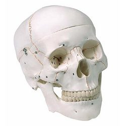 Numbered Human Skull