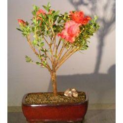 Flowering Tropical Red Azalea