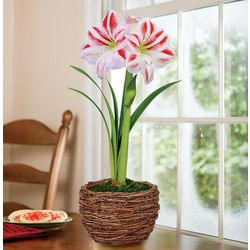 Dutch Amaryllis in Grapevine Container