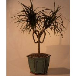 Dracena Heart Shaped Bonsai Tree