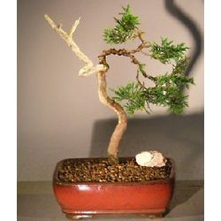Trained 10 Year Old Shimpaku Juniper Bonsai Tree