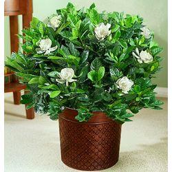 Gardenia Floor Plant