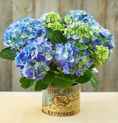 Blue Bird of Happiness Live Hydrangea