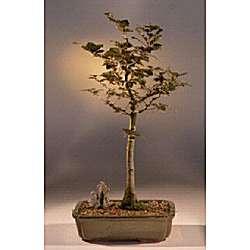Copper Beech Bonsai Tree