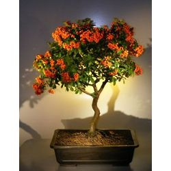 8 Year Old Flowering Pyracantha Bonsai Tree