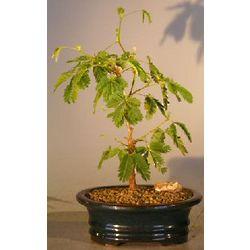 Flowering Mimosa Bonsai Tree