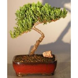 Juniper Bonsai Tree in Red Ceramic Planter