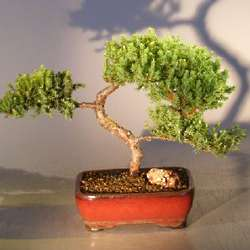 Juniper Bonsai Tree in Red Ceramic Container